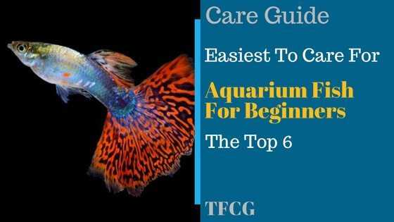 6 Easy Freshwater Aquarium Fish For Beginners Tfcg