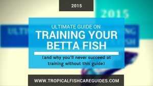 Training Betta Fish Guide