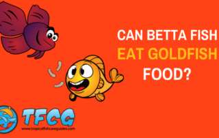 Can betta fish eat goldfish food archives tfcg for What can you feed betta fish