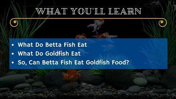 Can Betta Fish Eat Goldfish Food - WYL