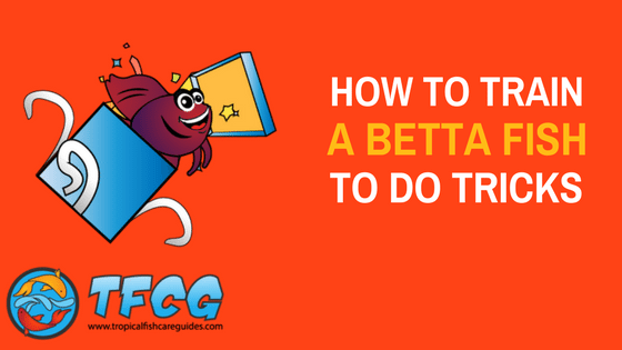 How To Train A Betta Fish To Do Tricks