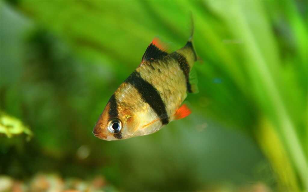 Species profile 1 tiger barb care tfcg for Tiger barb fish