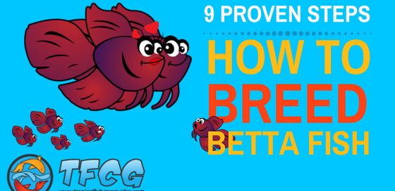 9 Proven Steps- How To Breed Betta Fish The Easy Way