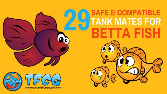 29 Safe & Compatible Betta Tank Mates For Your Betta Tank [Infographic]