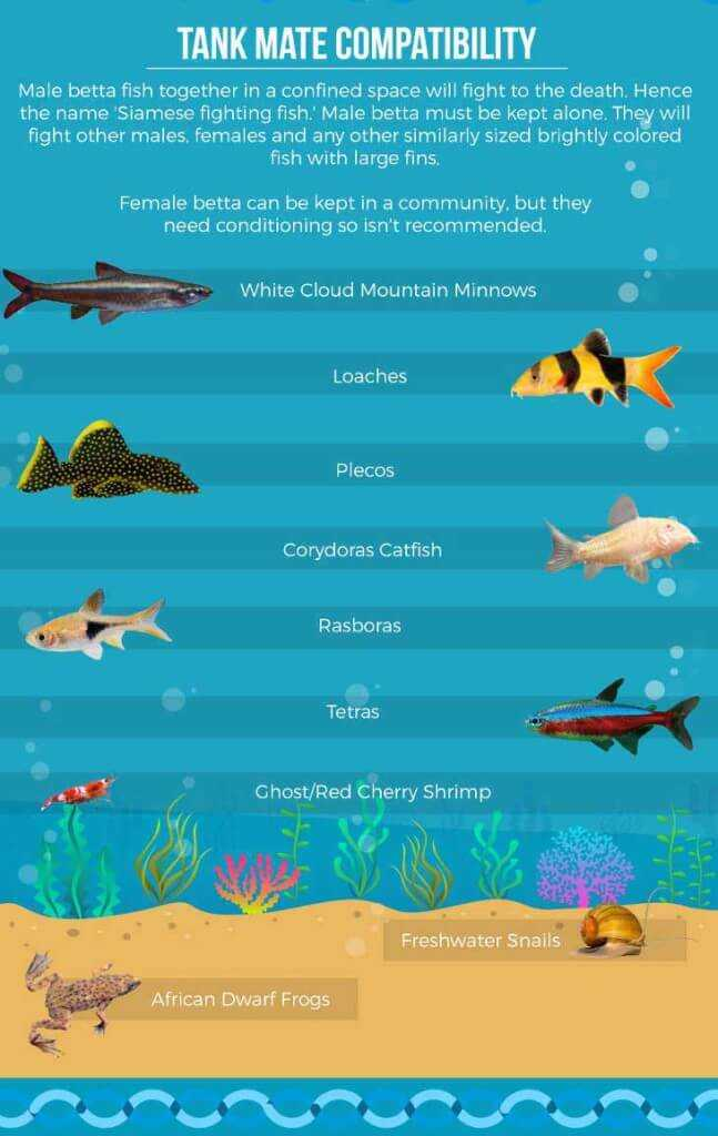 9 excellent male betta fish tank mates infographic tfcg for Can betta fish live with other fish