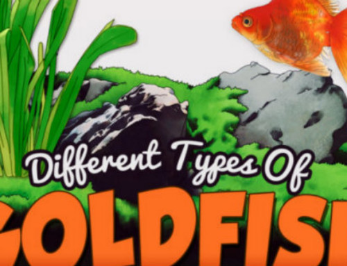 Can Goldfish Eat Betta Fish Food Tropical Fish Care Guides