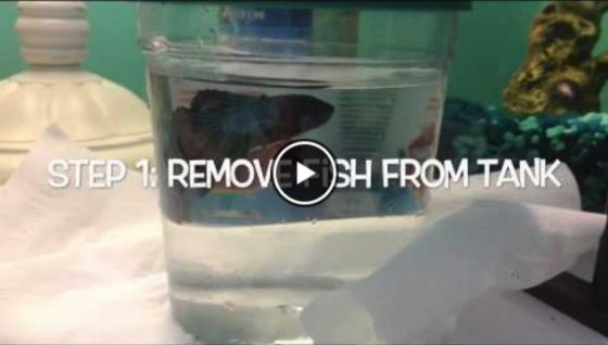 How To Clean a Betta Tank - Video