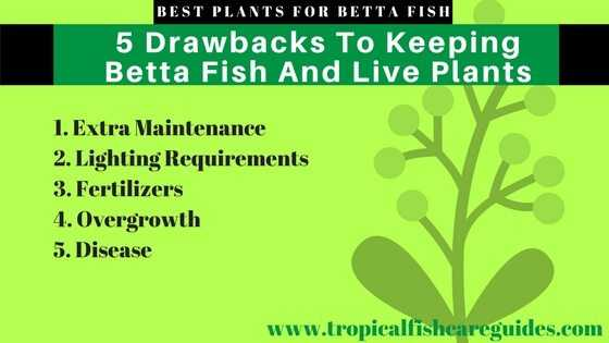 5 Drawbacks To Keeping Betta Fish And Live Plants