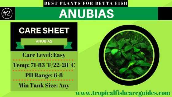 Best Betta Fish Plants- Anubias