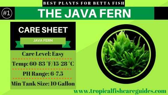 Best Betta Fish Plants- Java Fern