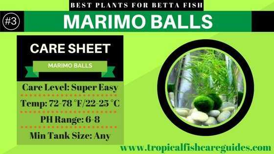 Best Betta Fish Plants- Marimo Balls