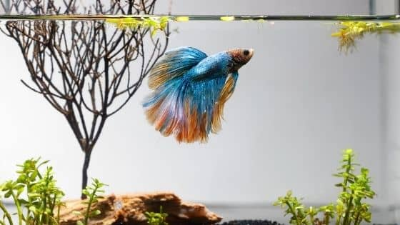 Happy and Healthy Betta