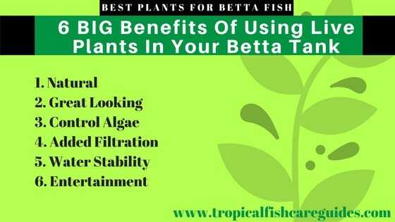 The 6 BIG Benefits Of Using Live Plants In Your Betta Fish Tank.