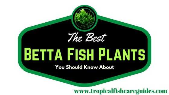 The best betta fish plants planting care maintenance for Best place to buy betta fish online