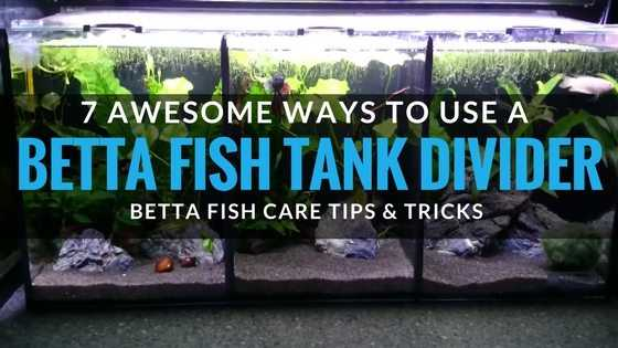How to use a betta fish tank divder. 7 useful ways.