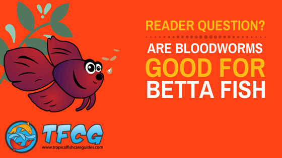 Bloodworms For Betta Fish- Can Betta Fish Eat Bloodworms-