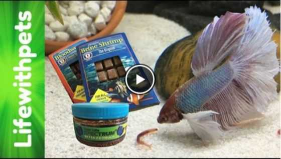 What Do Betta Fish Eat Video