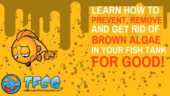 Prevent, Remove & Get Rid of Brown Algae In Your Aquarium - For Good!
