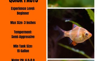 Ultimate Guide To Tiger Barb Fish Care - Feeding, Breeding & Tankmates