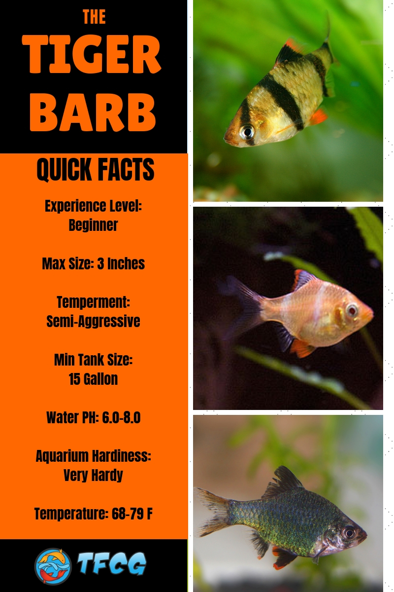 Ultimate Guide To Tiger Barb Fish Care - Feeding, Breeding