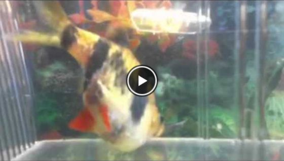 Video Tiger Barb Laying Eggs
