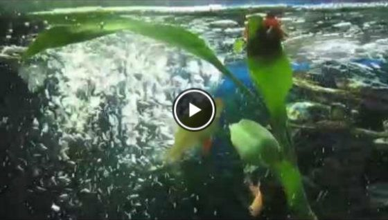 Video Tiger Barbs Eating Blood Worms