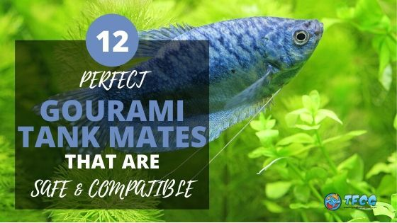 Best Compatible Gourami Tank Mates