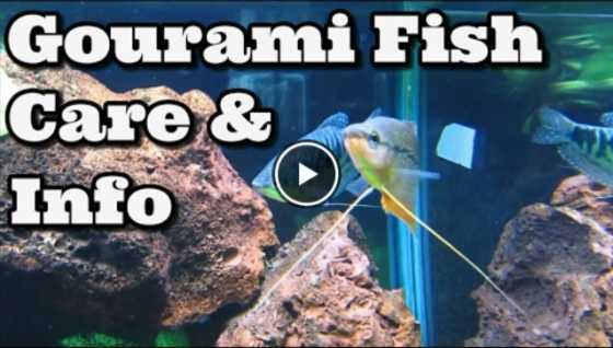 Gourami Tank Mates & Care Video