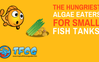 Hungry Algae Eaters For Small Tanks 10 Gallons & Under