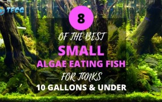 Small Algae Eaters For Small Tanks 10 Gallons & Under