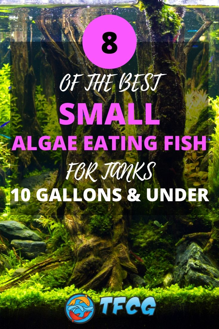 Small Algae Eating Fish For Tanks 10 Gallons & Under