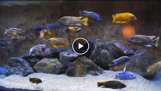 8 Of The Best African Cichlid Tankmates Massive List Care