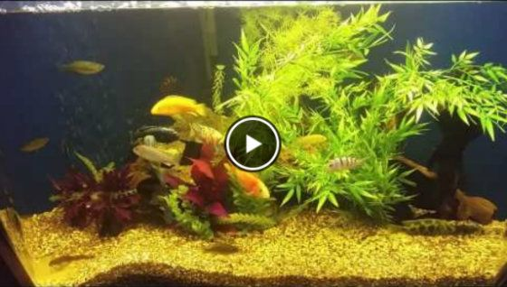 African Red Eye Tetra