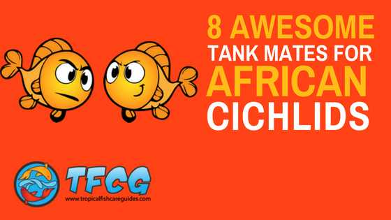 The Best African Cichlid Tankmates [Massive List & Care Guide]