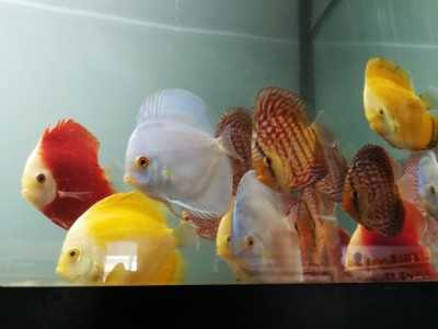 Freshwater - Discus