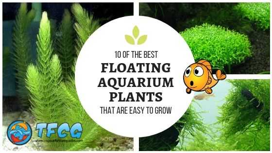 Best Floating Aquarium Plants That Are Easy To Grow Best Floating Aquarium Plants