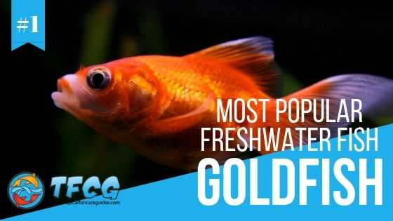 Freshwater Fish: Goldfish