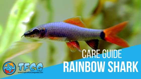Rainbow Shark Care Guide (Tankmates, Size, Diet, Lifespan & Breeding)