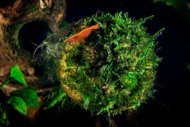 What Is Java Moss