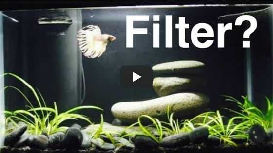 Do Betta Fish Need A Filter Video