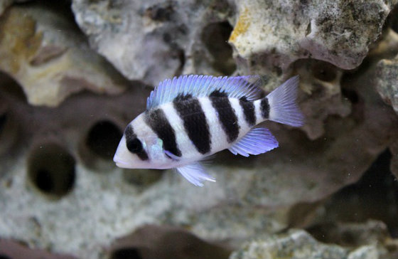 Best Cichlid Food For Color and Growth - Frontosa cichlid