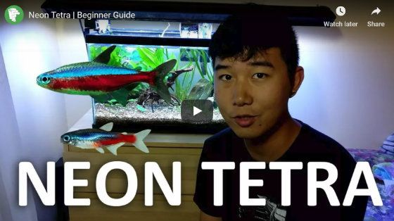 How Many Neon Tetras In A 5 Gallon Tank Video