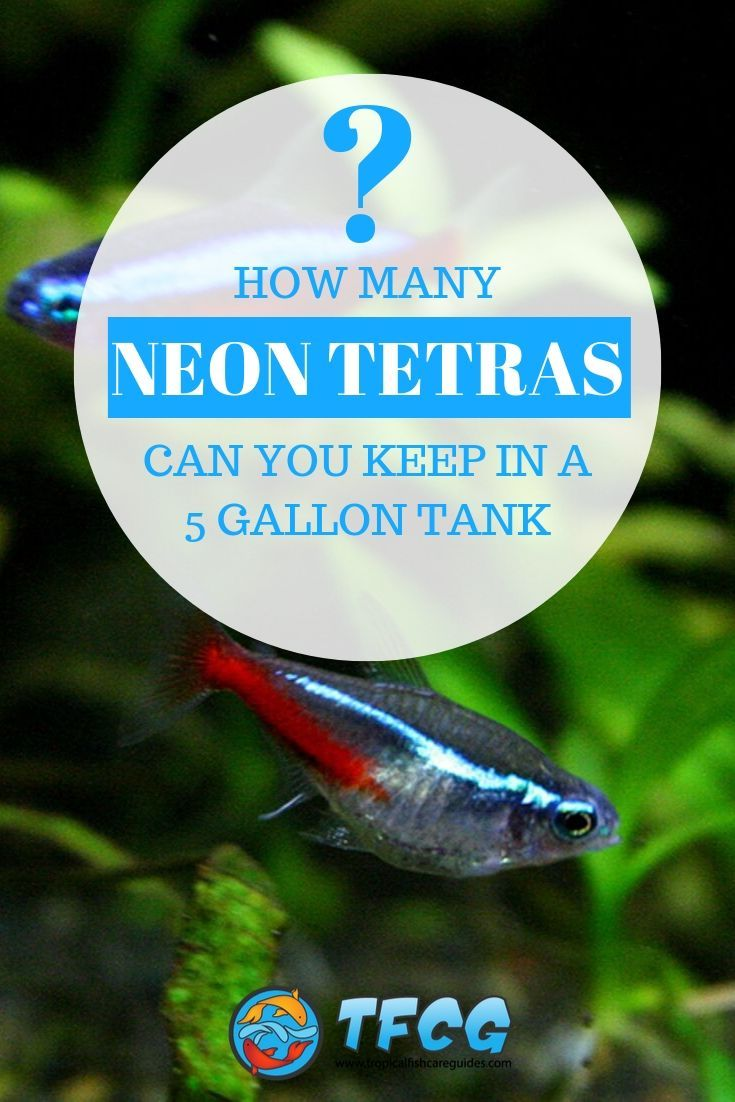 how many neon tetras in a 5 gallon tank