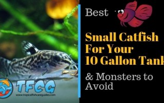 Best Small Catfish for a 10-Gallon Tank