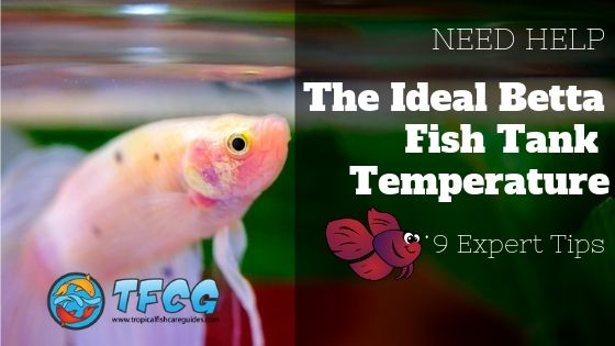 9 Expert Tips_ The Ideal Betta Fish Tank Temperature