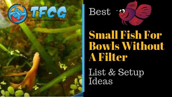 Best Fish For A Bowl Without Filter