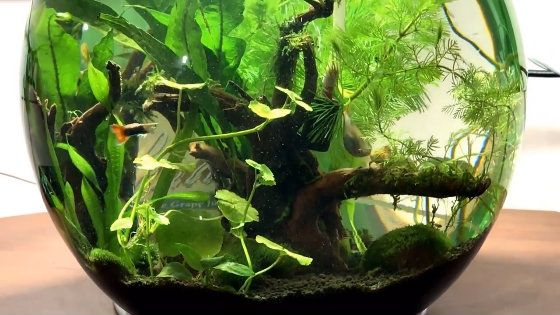 Guppy Planted Bowl Video