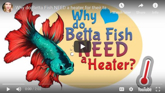 betta fish water temp video