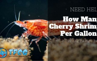 Finding the Right Ratio How Many Cherry Shrimp Per Gallon_