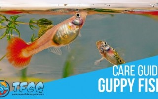 Guppy Fish Care Guide Everything You Need to Know
